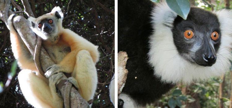 Madagascar. Lémures