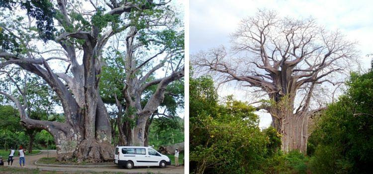 Madagascar. Baobabs