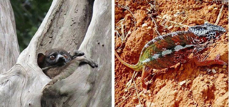 Madagascar. Lémur sportif y Camaleón