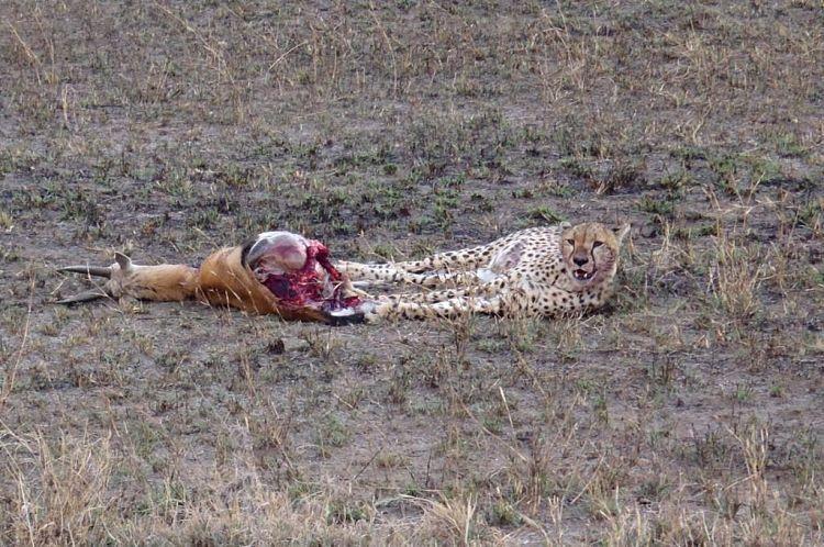 Tanzania y Kenia. Guepardo