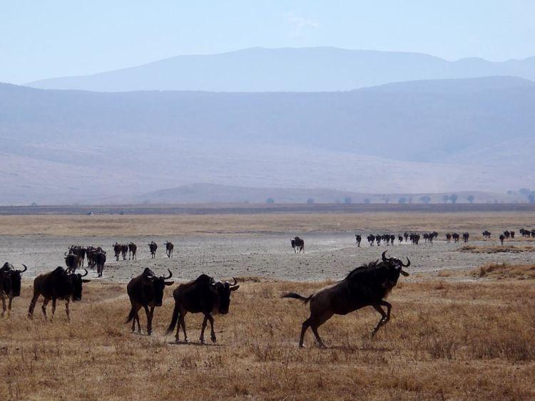 Tanzania y Kenia. Ñus en Gnorongoro