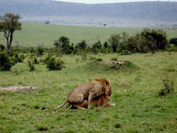 Tanzania y Kenia. Leones en Masai Mara