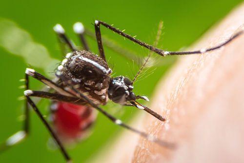 Isla de Martinica. Mosquitos