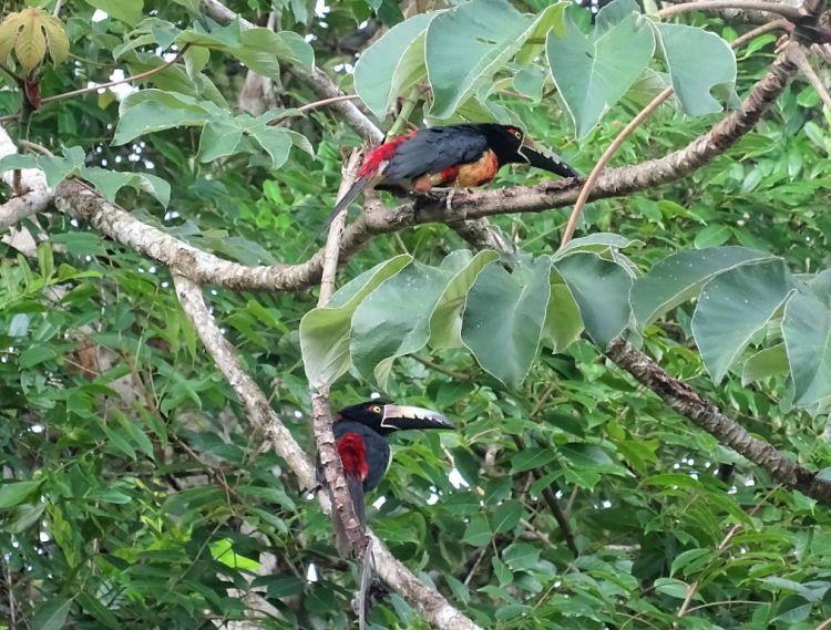 Guatemala y Belice. Tucancillos en Tikal.
