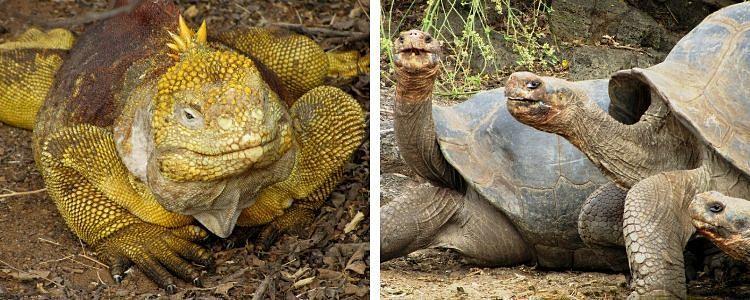 iguanas amarillas y tortugas gigantes en isla Santa Cruz