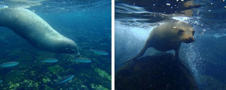 lobos marinos en isla Santa Fe (islas Galápagos)