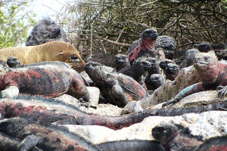 Iguanas Marinas de las Islas Galápagos