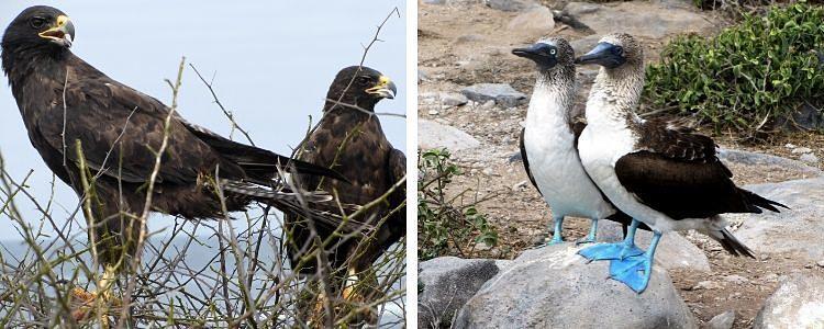 Águilas y Piqueros de patas azules en isla San Cristóbal