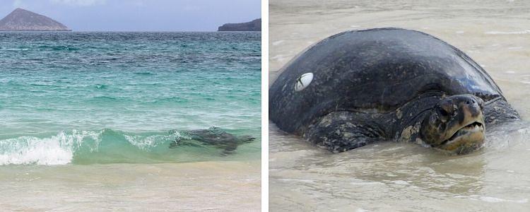Tortugas en isla Floreana (Galápagos)