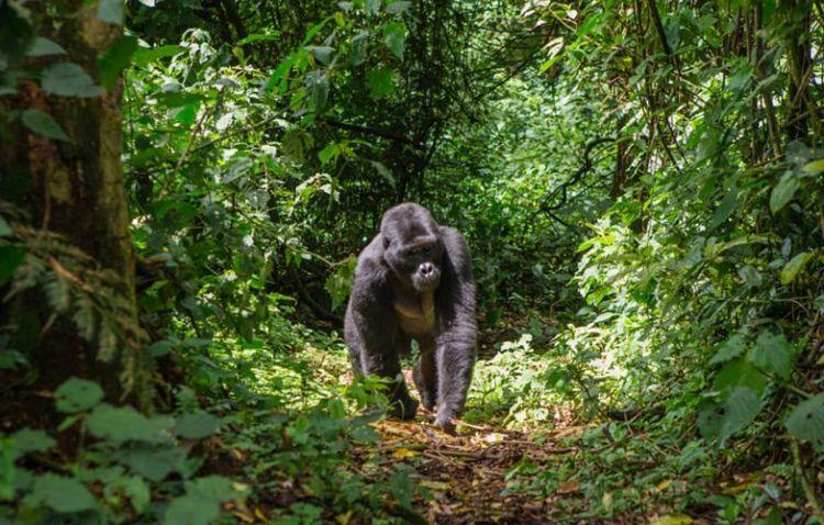 Gorila en el Monte Alen, Guinea Ecuatorial